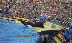 Blackfish - wide crowd shot, Tilikum